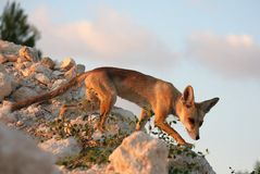 Red fox on the blue sky background royalty free stock photo