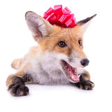 Red fox with a bow Royalty Free Stock Image
