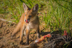 Red fox with prey Royalty Free Stock Image