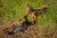 Red fox with prey Royalty Free Stock Photos