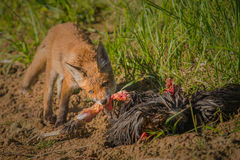 Red fox with prey Royalty Free Stock Images