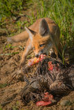 Red fox with prey Stock Photo