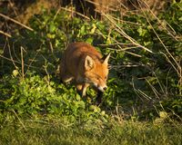 Red Fox. Wildlife of Britian. Red Fox, British Wildlife. Tynemouth. North East England royalty free stock photography