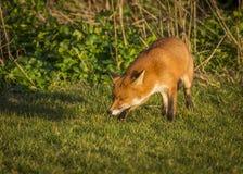 Red Fox. Wildlife of Britian. Red Fox, British Wildlife. Tynemouth. North East England royalty free stock image