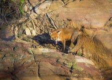 Red Fox. Wildlife of Britian. Red Fox, British Wildlife. Tynemouth. North East England stock photo