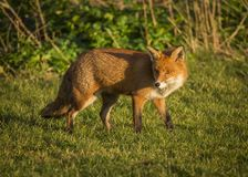 Red Fox. Wildlife of Britian. Red Fox, British Wildlife. Tynemouth. North East England stock images