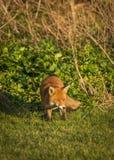 Red Fox. Wildlife of Britian. Red Fox, British Wildlife. Tynemouth. North East England stock image