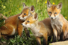 Red fox brothers near the den Stock Photography
