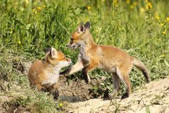 Red fox brothers playing in clearing stock photo