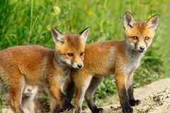 Red fox brothers Royalty Free Stock Image