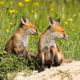 Red fox brothers Stock Images