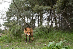 Red Fox in the bush. Red Fox in an bush landscape Stock Photo