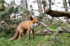 Red Fox in bushes. Red Fox in front of bushes Stock Photography