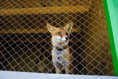 Red fox in a cage Royalty Free Stock Image