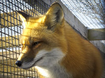 Red Fox - Caged. Head shot of a Red Fox in a caged environment under rehabilitation Royalty Free Stock Image