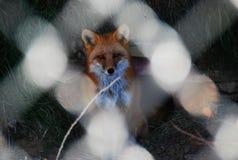 Red Fox in Captivity Stock Image