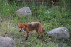 Red fox. Red fox carrying its catch in the mouth Stock Images