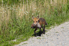 Red Fox carrying muskrat Stock Photography