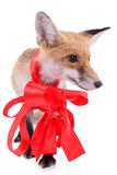 Red fox Christmas Royalty Free Stock Image
