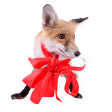 Red fox Christmas Royalty Free Stock Images