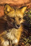 Red Fox. Close Facial Portrait of Adult Red Fox Royalty Free Stock Photo