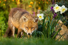 Red fox close to the daffodils Royalty Free Stock Images