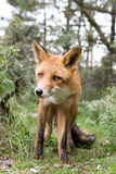 Red Fox. Red Fox close to the photographer Royalty Free Stock Photography