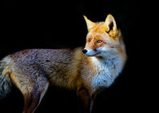 Red fox. Close up of a red fox on black background Royalty Free Stock Photo