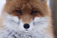 Red fox. Close up of a european red fox Royalty Free Stock Images
