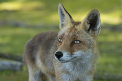 Red fox, close-up head. Close-up of a red fox Stock Image