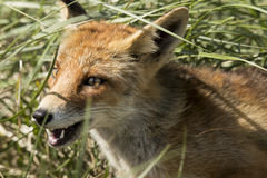 Red fox, close-up head. Red fox, close-up of the head Royalty Free Stock Photo