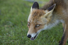 Red fox, close-up head. Close-up of a red fox Royalty Free Stock Images