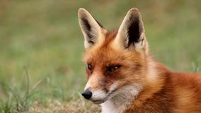 Red fox stock footage