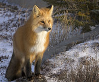 Red Fox. Close up image of a red fox, stopping and listening for its prey.  Late autumn in Churchill, Manitoba, Canada Stock Photo