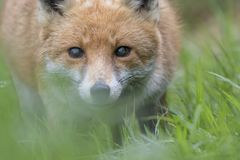 Red fox close up portrait in grass with background. Red fox close up portrait in long grass with background Stock Images
