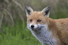Red fox close up portrait in grass with background. Red fox close up portrait in long grass with background Royalty Free Stock Images
