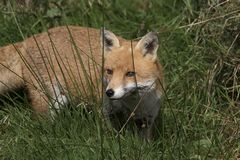 Red fox close up portrait in grass with background. Red fox close up portrait in long grass with background Stock Photo