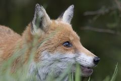 Red fox close up portrait in grass with background. Red fox close up portrait in long grass with background Royalty Free Stock Image
