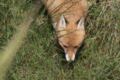Red fox close up portrait in grass with background. Red fox close up portrait in long grass with background Stock Image
