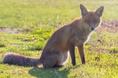 Red Fox Close up Portrait Vulpes vulpes stock photography