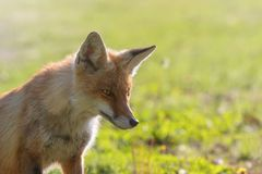 Red Fox Close up Portrait Vulpes vulpes royalty free stock photo