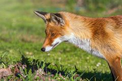 Red Fox Close up Portrait Vulpes vulpes royalty free stock image