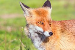 Red Fox Close up Portrait Vulpes vulpes stock photos