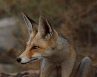 Red fox close up side portrait Royalty Free Stock Image