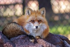 Red fox sitting o a rock royalty free stock image