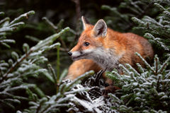 Red Fox close up. Red Fox in snowy forest Royalty Free Stock Photography