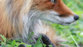 Red fox close up stock video footage