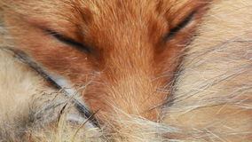 Red fox close up stock video