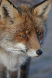 Red fox, close Royalty Free Stock Photos