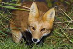 Red fox close up Royalty Free Stock Photos